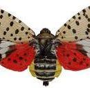Lanternfly Quarantine